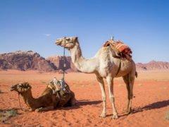 Camel desert jordan